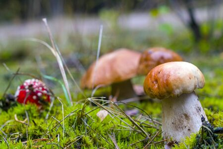 Porcini mushrooms and fly agaric in moss. Amanita and porcini mushroom grows in autumn forest. Red agaric and ceps growing in wood