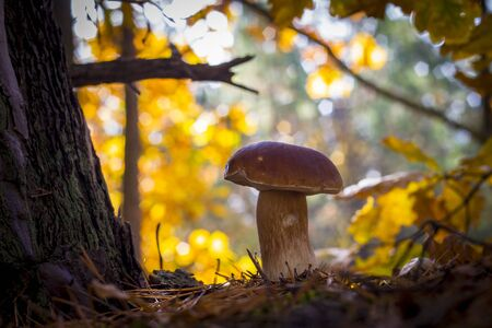 Big porcini mushroom grow near oak. Autumn mushrooms grow in forest. Natural raw food growing in wood. Edible cep, vegetarian natural organic meal