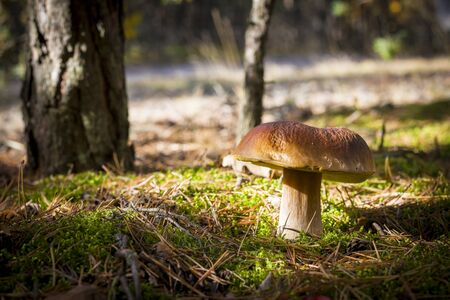 Big porcini mushroom grows in moss. Autumn mushrooms grow in forest. Natural raw food growing in wood. Edible cep, vegetarian natural organic meal Stock Photo