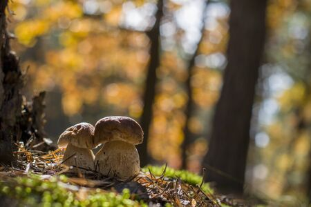 Fresh porcini mushrooms grow near oak. Autumn mushrooms grow in forest. Natural raw food growing in wood. Edible cep, vegetarian natural organic meal
