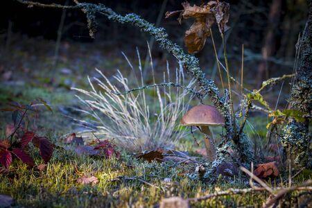 Brown cap mushroom in dark moss. Autumn mushrooms grow in forest. Natural raw food growing in wood. Edible cep, vegetarian natural organic meal