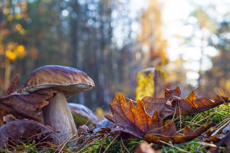 big mushroom in morning wood. Autumn mushrooms grow. Natural raw food growing in forest. Edible cep, vegetarian natural organic meal Stock Photo