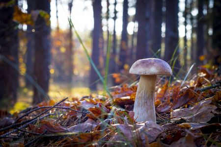 Porcini mushroom in sunny rays. Autumn mushrooms grow in forest. Natural raw food growing. Edible cep, vegetarian natural organic meal