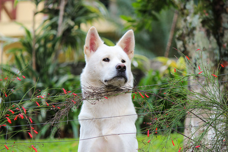 shepperd: White shepperd dog looking over a fence