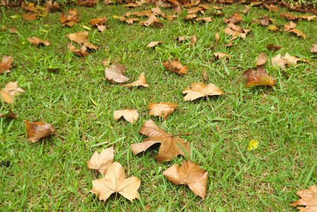 crocket: Outumn leaves on the grass.