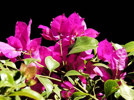 contrast floral: Floral contrast of pink and black Stock Photo
