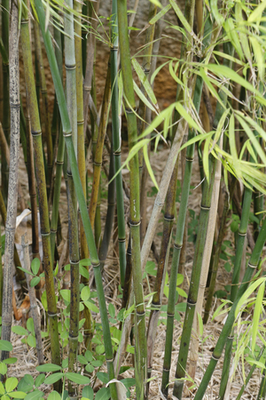 Bamboo trees in the wild