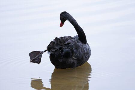 Black swan in a strange pose