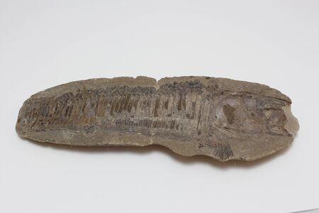 Old fish fossil in a white background Фото со стока