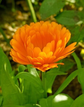 close up of one orange calendula flower growing on meadow on a blurred green background 版權商用圖片