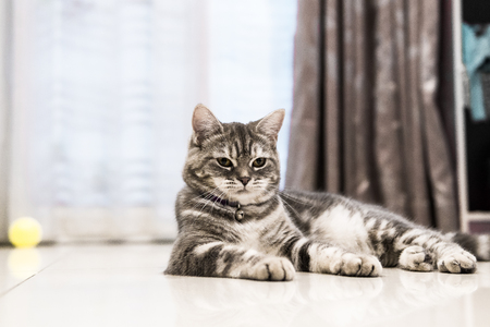 canny: Little American shorthair cat in the house