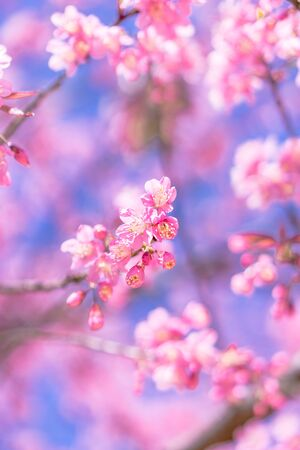 Wild Himalayan Cherry Cherry Blossom Stock Photo