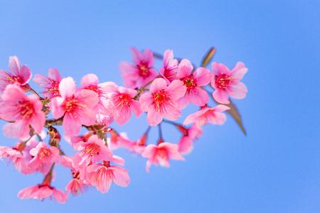 Wild Himalayan Cherry Cherry Blossom Thailand in Chiang Mai Фото со стока