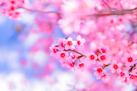 view beautiful Wild Himalayan Cherry Blossom or sakura Thailand in Chiang Mai