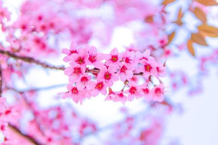 former: view beautiful Wild Himalayan Cherry Blossom or sakura Thailand in Chiang Mai