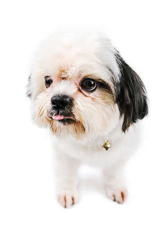 verbs: Small dogs. Posture verbs are cute and are sticking out your tongue, as a dog breed-Shih-tzu white, and use a white background.