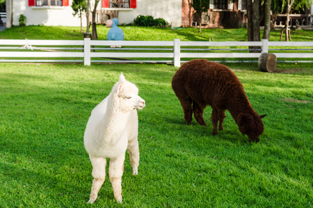 alpaca white cute is looking at outside. And see the playful and naughty gestures and another one completely from eating grass.