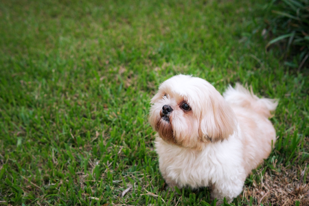 Best Indoor Chubby Adorable Dog - 92669728-dog-breed-shih-tzu-brown-fur-that-is-in-the-garden-of-grass-and-there-is-a-cute-chubby-shape-and-are  Image_771511  .jpg?ver\u003d6