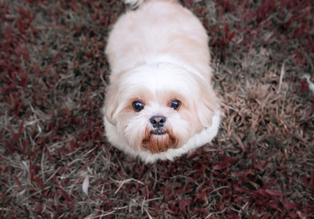 Most Inspiring Maltese Chubby Adorable Dog - 92495102-dog-breed-shih-tzu-brown-fur-that-is-in-the-garden-of-grass-and-there-is-a-cute-chubby-shape-and-sat  Pictures_636879  .jpg?ver\u003d6
