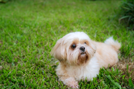 Best Indoor Chubby Adorable Dog - 92497223-dog-breed-shih-tzu-brown-fur-that-is-in-the-garden-of-grass-and-there-is-a-cute-chubby-looking-shape  Image_771511  .jpg?ver\u003d6