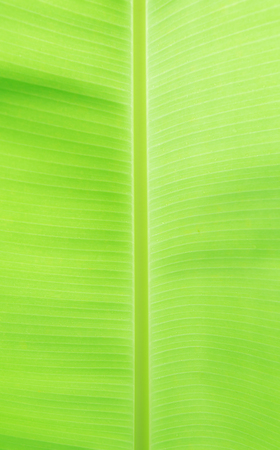 The diverse patterns of lines from the Banana leaves.And there is a green felt refreshed and relaxed nature and use it as a background.