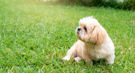small dog breeds shih tzu brown fur in green lawn.And were seated at a lovely gesture and a lovely and loyal pets.And can be used as background