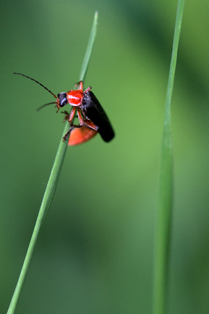 a beetle Cantharis rufa is balancing on a blade of grass Stock Photo