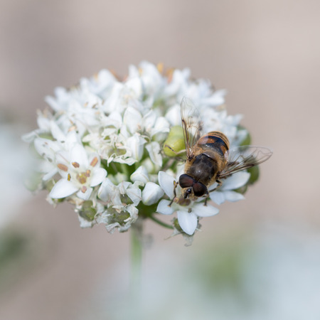 A hoverfly sitting on a flower of chinese chive Stock Photo