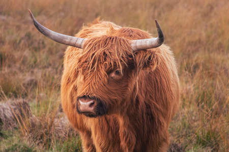 longhair scottich highlander