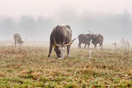 grazing Maremmana cattle at Kempenbroek Nature park, Weert, Netherlands. Part of Tauros program. Reklamní fotografie