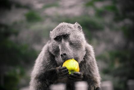 estola: babuino rob� apple tur�stica