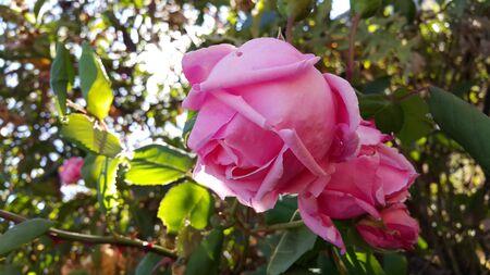 flor: Flor de Rosa