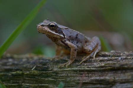 Rana temporaria,Holland