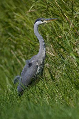 gray herons: Heron The Netherlands