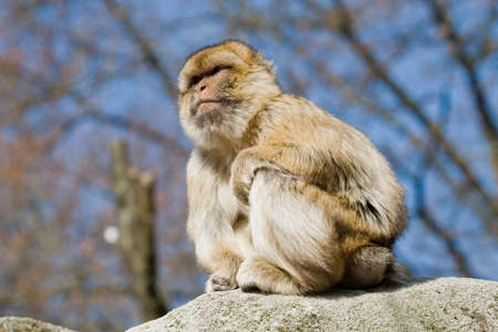macaque: Long-tailed Macaque ,Netherlands