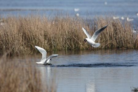 Mediterranean Gulls in nature field Boerveense Plassen near Hoogeveen, Netherlands