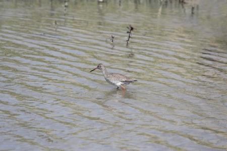 Redshank in the polder