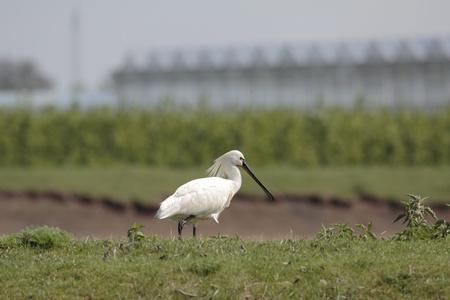 dikes: Spoonbill on a grass embankment