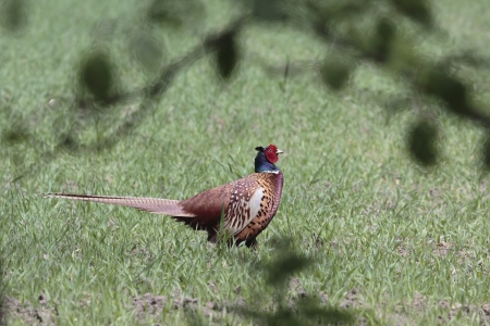 phasianidae: Pheasant in the meadow