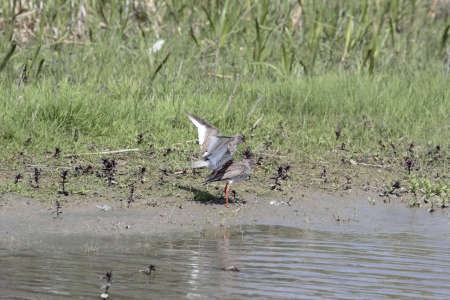 Mating petty in the polder