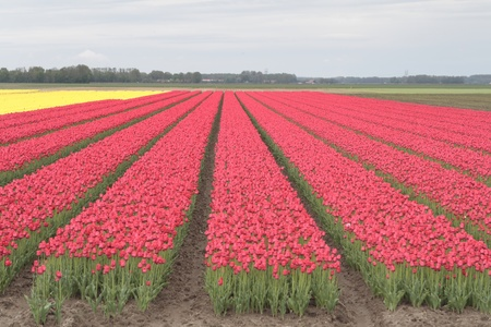 floriculture: Tulip fields in the Netherlands