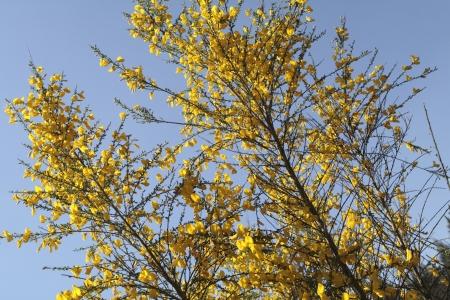 yellow broom, Netherlands Stock Photo