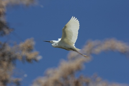 fighting egrets in a tree in France