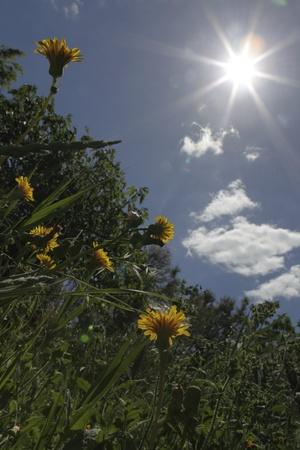 Dandelions in the sunlight in France
