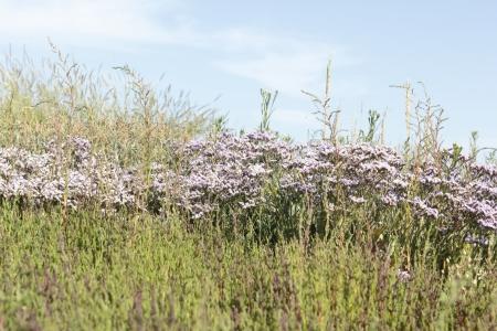 Flowering Lamsoor on Griend, Netherlands
