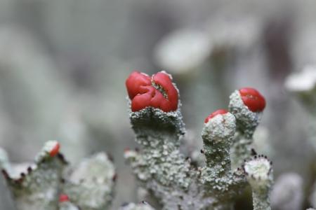 Cups moss on the Drenthe heath, Netherlands