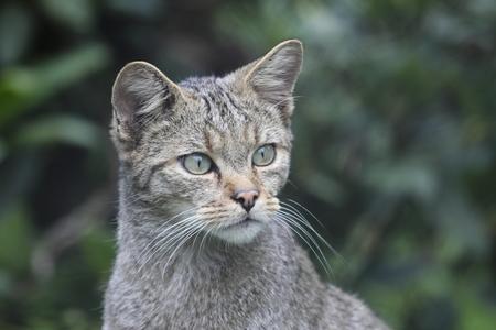 Wild cat in wildlife park, Germany