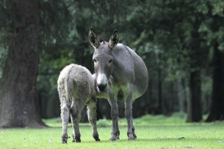Donkey suckles its young, Germany