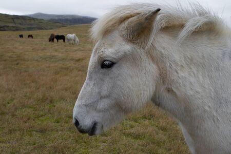 Icelandic horses in pasture, Iceland