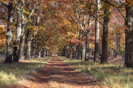 oak lane on the Veluwe, Netherlands Stock Photo